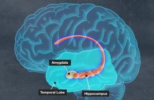 amygdala-hippocampus